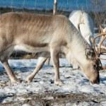 Northern domestic deer in his environment in Scandinavia — Stock Photo #68140349