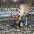Northern domestic deer in his environment in Scandinavia  — Stock Photo #68140351