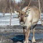 Northern domestic deer in his environment in Scandinavia — Stock Photo #68140355