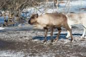 Northern domestic deer in his environment in Scandinavia  — Stock Photo