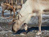 Ritratto di renne — Foto Stock