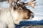 Reindeer portrait — Stock Photo