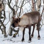 Northern domestic deer in his environment in Scandinavia — Stock Photo #68187327