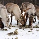 Northern domestic deer in his environment in Scandinavia — Stock Photo #68187457