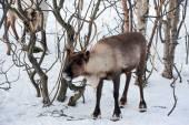Northern domestic deer in his environment in Scandinavia — Foto Stock