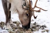 Cervi del Nord domestici nel suo ambiente in Scandinavia — Foto Stock