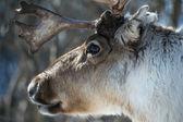 Reindeer portrait — Stock Photo