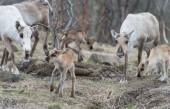 Reindeer female and calf Rangifer tarandus — Fotografia Stock