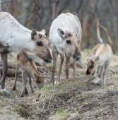 Reindeer female and calf Rangifer tarandus — Stock Photo