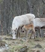 Reindeer female and calf Rangifer tarandus — Stock Photo