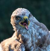 Common buzzard, juvenile — Stock Photo
