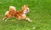 Running flame red chihuahua — Stock Photo