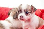 Adorable Chihuahua puppy in red pet bed — Stock Photo