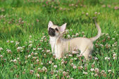 Chihuahua puppy on green lawn — Stock Photo