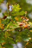 Acorn closeup with leaves- Trebon,Czech Republic — Stock Photo