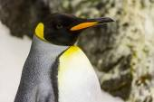 Detail of penguin with black head,orange beak — Stockfoto