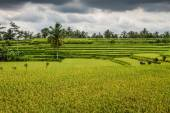 Wide green rice terraces - Bali, Indonesia — Stock Photo