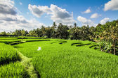 Wide green rice terraces - Bali, Indonesia — Foto de Stock