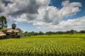 Wide green rice terraces - Bali, Indonesia — Stock Photo