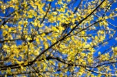 Branch with yellow leaves on the sun with blue sky — Stock Photo