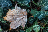 Frost Covered Brown Leaf on Frozen Green Leaves — Stock Photo
