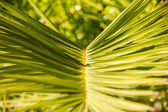 Detail of Palm Leaf with Green Background — Stock Photo