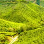 Green Tea Plantation, Cameron Highlands, Malaysia — Stock Photo #65196925