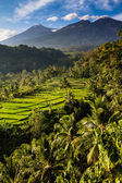 Rice fields and Trees with Mt. Rinjani-Lombok,Asia — Stock Photo