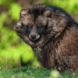 Cute Raccoon dog — Stock Photo #70638239