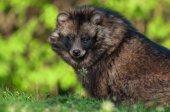 Cute Raccoon dog — Stock Photo