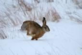 Esfregue a lebre (Lepus saxatilis) no habitat natural — Fotografia Stock