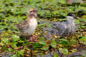 The Whiskered Tern. Birds with chicks — Stock Photo