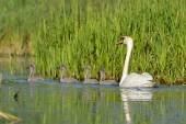 Mute Swan - Cygnus olor Adult with four cygnets — Stock Photo