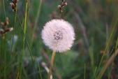 Dandelion on field in autumn — Stock Photo