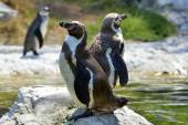 Humboldt penguins (Spheniscus Humboldt) in a zoo — Stock Photo