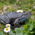 Agile Frog (Rana dalmatina) in grass — Stock Photo #64639987