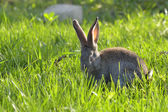 Young rabbit on field — Stock Photo