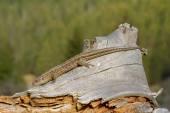 Ящерица на ветке — Стоковое фото