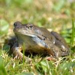 Agile Frog (Rana dalmatina) in grass — Stock Photo #64740183