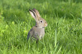 Junge kaninchen auf feld — Stockfoto