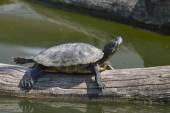 Red eared Terrapin - Trachemys scripta elegans — Stock Photo