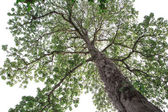 Huge tree on white background. in looking up viewed — Stock Photo