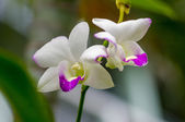 White orchid flower — Stock Photo