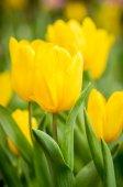 Tulipa amarela. — Fotografia Stock