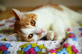 Cat lying in repose on the color plaid — Stock Photo