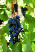 Bunch of grapes hanging on the vine — Stock Photo
