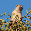 Black Faced Vervet Monkey — Stock Photo #63010093