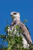 Martial Eagle — Stock Photo