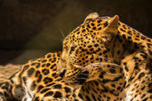 Leopard panther resting relax — Stock Photo