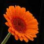 Rain-spattered orange gerbera against black background — Stock Photo #74690985